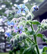 borage blossoms
