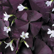 How To Grow And Repot Oxalis Or Purple Shamrock Plant Grown As