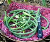 harvested garlic scapes