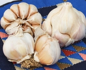 softneck garlic bulbs