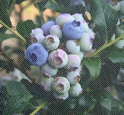 blueberries tulle bird netting