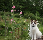 cat with hollyhocks