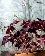 red oxalis in bloom