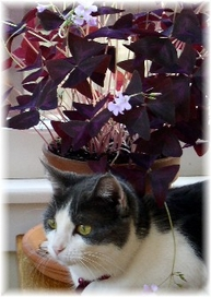 purple shamrock with cat