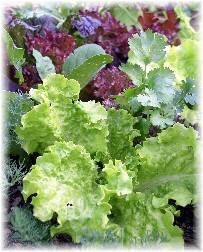 garden lettuce with herbs