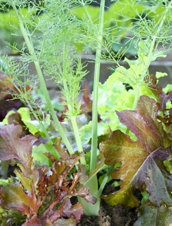 growing bulb fennel