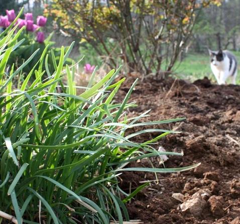 growing garlic chives  food  flowers