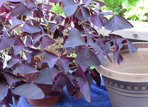 How to grow and repot oxalis or purple shamrock plant, grown ... House Plant With Leaves Purple Red on purple leaf plants with leaf, purple leaf shrub with pink flowers, hydrangea with purple leaves,