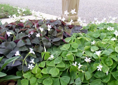 green and purple shamrocks outdoors