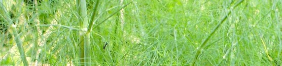 bulb fennel foliage