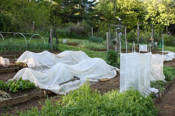 Using row cover and sewing row cover in the organic - Cover crops for vegetable gardens ...