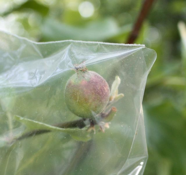 apple bagging to grow apples without spraying