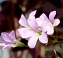 purple oxalis blossoms